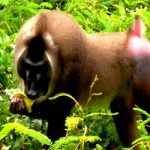 cross river national park drill monkey