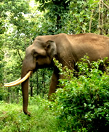 Omo forest elephant