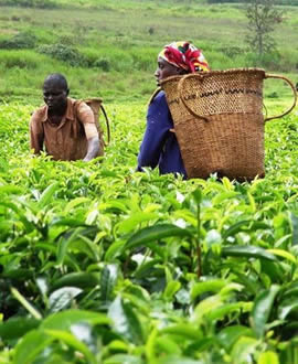 the Mambilla plateau tea plant