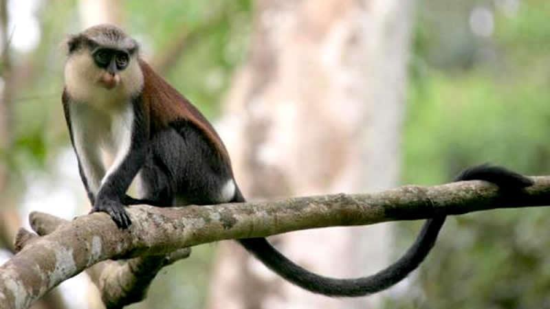 OKOMU mona monkey